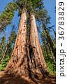 セコイア セコイヤ 樹木の写真 36783829