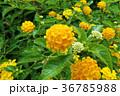 ランタナ 花 黄色の写真 36785988