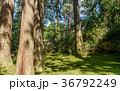 平泉寺白山神社 苔 木漏れ日の写真 36792249