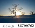 木 夕日 北海道の写真 36799762