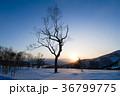 木 夕日 北海道の写真 36799775