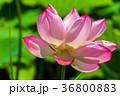 蓮 花 ハスの写真 36800883