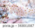 桜 ソメイヨシノ 満開の写真 36801087