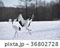着陸するタンチョウ(北海道・鶴居) 36802728