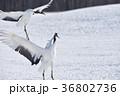 着陸するタンチョウ(北海道・鶴居) 36802736