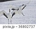 タンチョウ 鶴 野鳥の写真 36802737