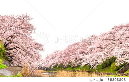 桜並木 36808808
