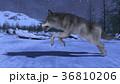 狼 イヌ科 動物のイラスト 36810206
