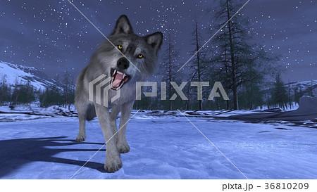 オオカミ 36810209