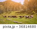 馬 褐色 草の写真 36814680
