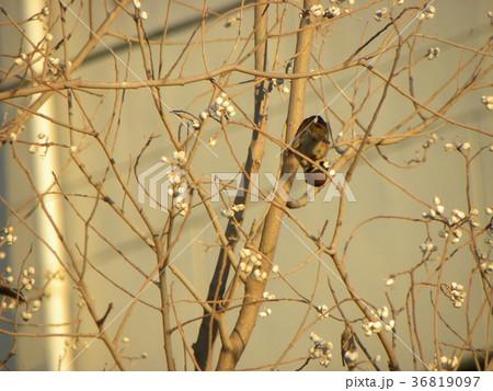 公園のナンキンハゼの実を食べるスズメ 36819097