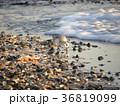 夕日に照らされて検見川浜で給餌中のミユビシギ 36819099