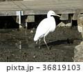 千葉公園の蓮池脇を散歩中のコサギ 36819103