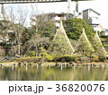千葉公園綿打池の冬の風物詩雪吊り 36820076