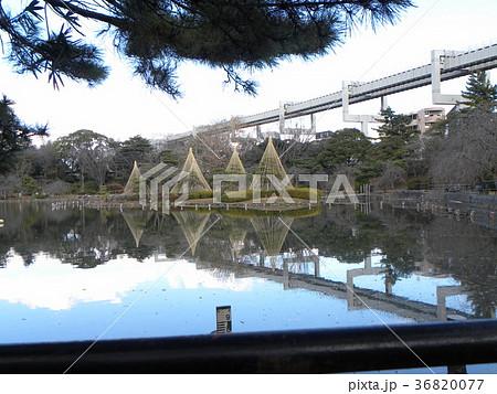 千葉公園綿打池の冬の風物詩雪吊り 36820077