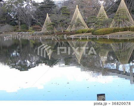 千葉公園綿打池の冬の風物詩雪吊り 36820078