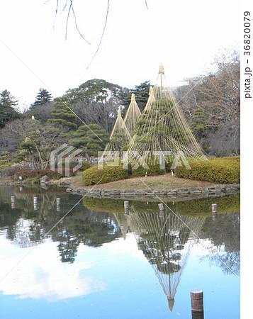 千葉公園綿打池の冬の風物詩雪吊り 36820079