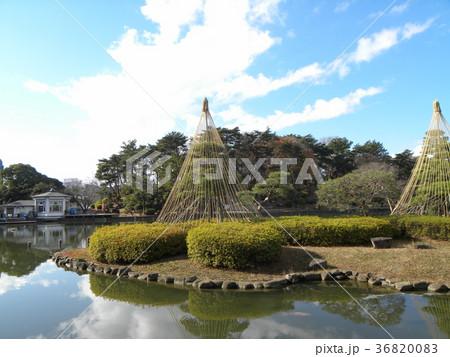 千葉公園綿打池の冬の風物詩雪吊り 36820083