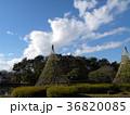 千葉公園綿打池の冬の風物詩雪吊り 36820085