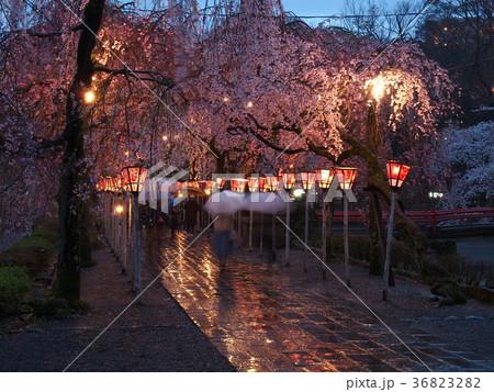 雨に濡れた参道と夜桜 36823282