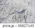 タンチョウ ツル 飛ぶの写真 36827145