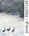 タンチョウ 鶴 川の写真 36827148