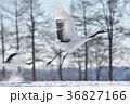 タンチョウ親子の飛び立ち(北海道・鶴居) 36827166