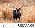 エゾシカ  36833399