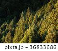杉林 森林 バックグラウンドの写真 36833686