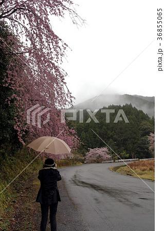 サクラ 日本の花 36855065