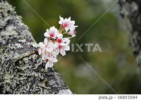 サクラ 日本の花 36855094