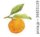 ハッサク 果物 フルーツのイラスト 36855139