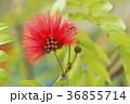 オオベニゴウカン 花 赤色の写真 36855714
