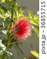 オオベニゴウカン 花 赤色の写真 36855715
