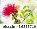 オオベニゴウカン 花 赤色の写真 36855719