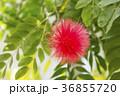 オオベニゴウカン 花 赤色の写真 36855720