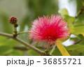 オオベニゴウカン 花 赤色の写真 36855721
