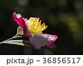 さざんか 山茶花 サザンカの写真 36856517