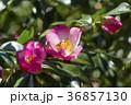 さざんか 山茶花 サザンカの写真 36857130