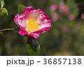 さざんか 山茶花 サザンカの写真 36857138