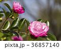 さざんか 山茶花 サザンカの写真 36857140