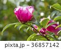 さざんか 山茶花 サザンカの写真 36857142