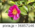 さざんか 山茶花 サザンカの写真 36857146