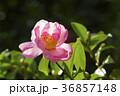 さざんか 山茶花 サザンカの写真 36857148