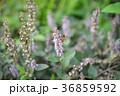 蜂 ハチ 蜜蜂 36859592
