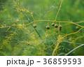 アスパラ アスパラガス オランダキジカクシ 36859593