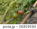 トマト トマト とまと 36859594