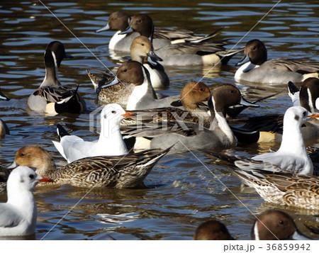 稲毛海浜公園の池に来た冬の渡り鳥ユリカモメとオナガガモ 36859942