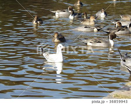 稲毛海浜公園の池に来た冬の渡り鳥ユリカモメとオナガガモ 36859943