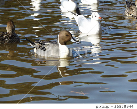 稲毛海浜公園の池に来た冬の渡り鳥ユリカモメとオナガガモ 36859944